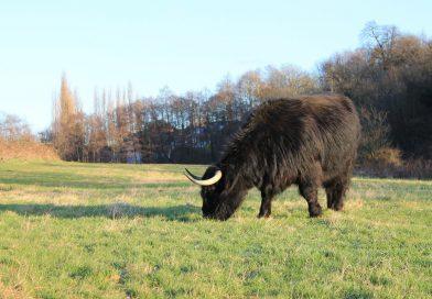 Highland Cattle Return to Belper Parks Wildflower Meadow