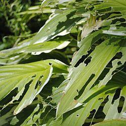 plant eaten by slug