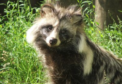 Have You Seen Raccoon Dogs?