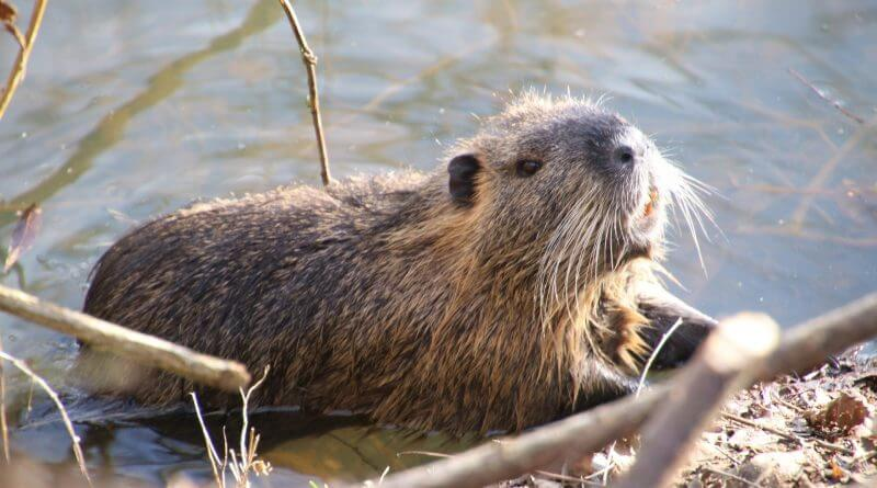 Beavers For Derbyshire